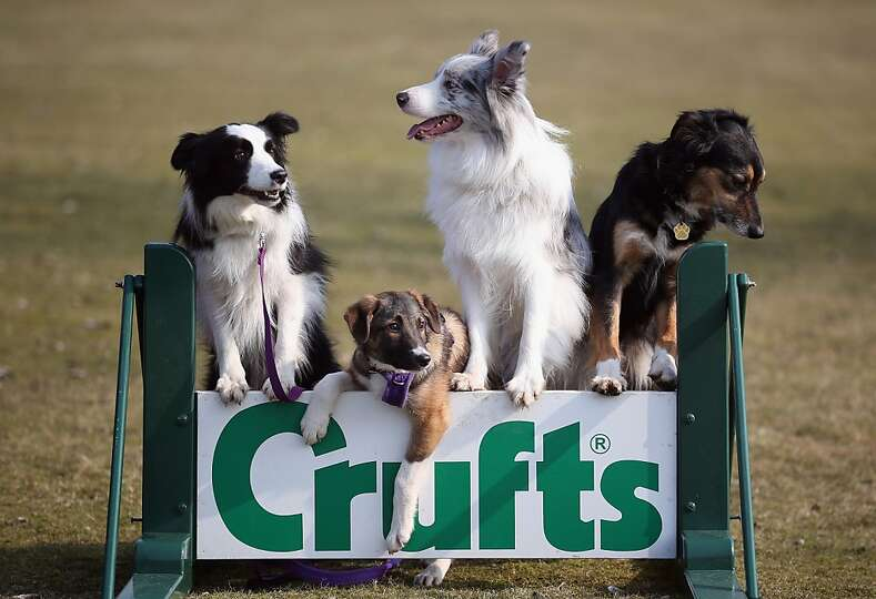 Collie cross Tiff (2nd from left), a five-month-old homeless rescue dog joins Collie dogs Holly (lef