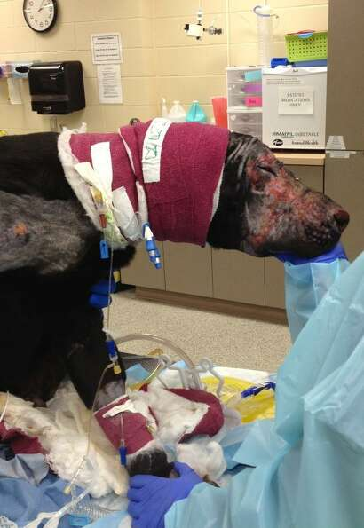 Pier, a young Labrador Retriever suffered second- and third-degree burns over much of his body when