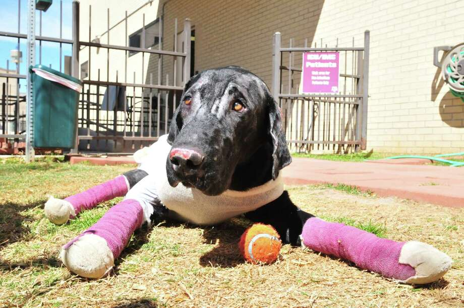 Pier, heavily bandaged for his injuries, has a lot of energy and enjoys playing with his tennis ball. Photo: Photos Courtesy Of Scout's Honor Rescue Inc.