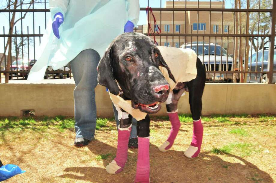 Pier has beaten the odds and is recovering from his injuries. A foster family is waiting to take him in. Photo: Photos Courtesy Of Scout's Honor Rescue Inc.