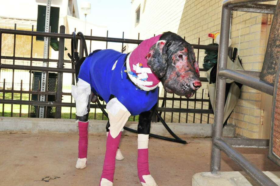 Pier will always have to wear a T-shirt and sunscreen to protect his        permanently damaged skin. Photo: Photos Courtesy Of Scout's Honor Rescue Inc.