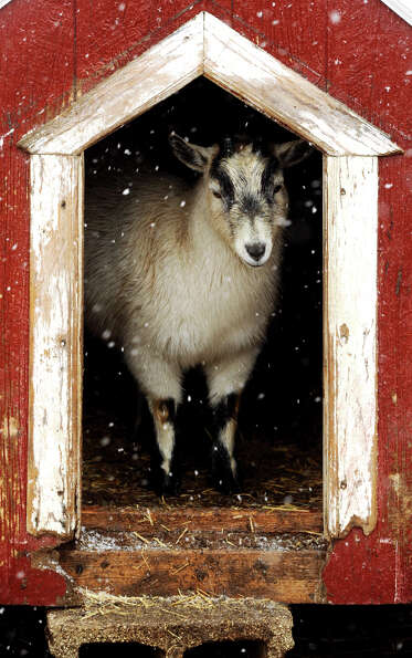 A pigmy goat seeks shelter as the snow peppers down Tuesday afternoon, March 5, 2013 at Reid's Orcha