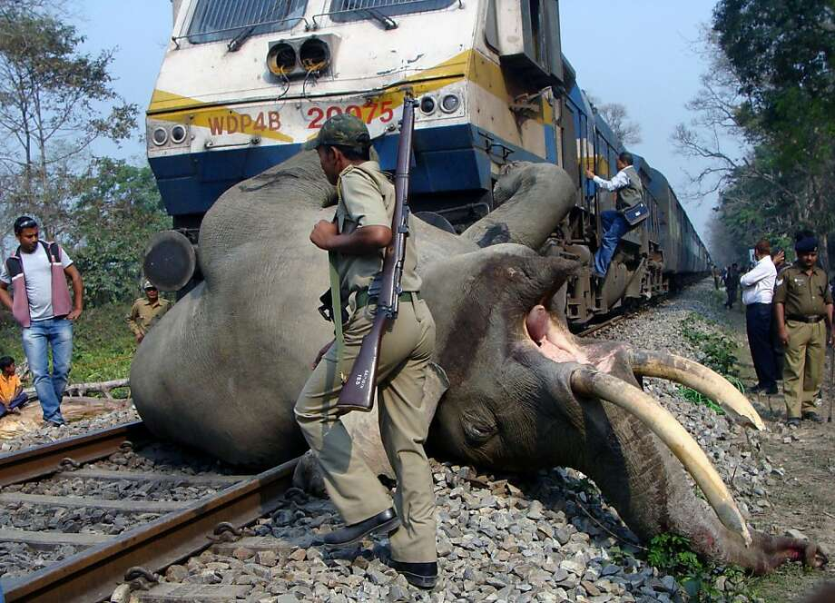 An Indian forestry worker walks past the body of a tusker elephant after it was struck by a train at the Buxa Tiger Reserve, some 12 kms from Alipurduar on March 5, 2013. The adult tusker was killed by the speeding Guwahati-bound Somporkkranti  Express inside the Buxa Tiger Reserve in West Bengal.  Photo: Str, AFP/Getty Images