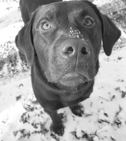 Chocolate Lab Bodie Dailey, who was visiting the park with his master, momentarily helped relieve Lee Paine of her feeling of melancholy. Photo: Contributed Photo