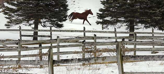 A horse gallops through the snow in Auburn, N.H. Photo: Charles Krupa, Associated Press