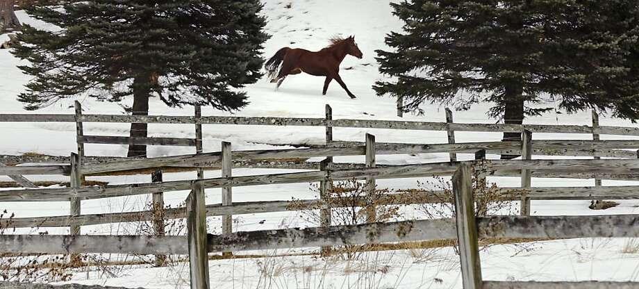 A horse gallops through the snow in Auburn, N.H. Photo: Charles Krupa, Associated Press