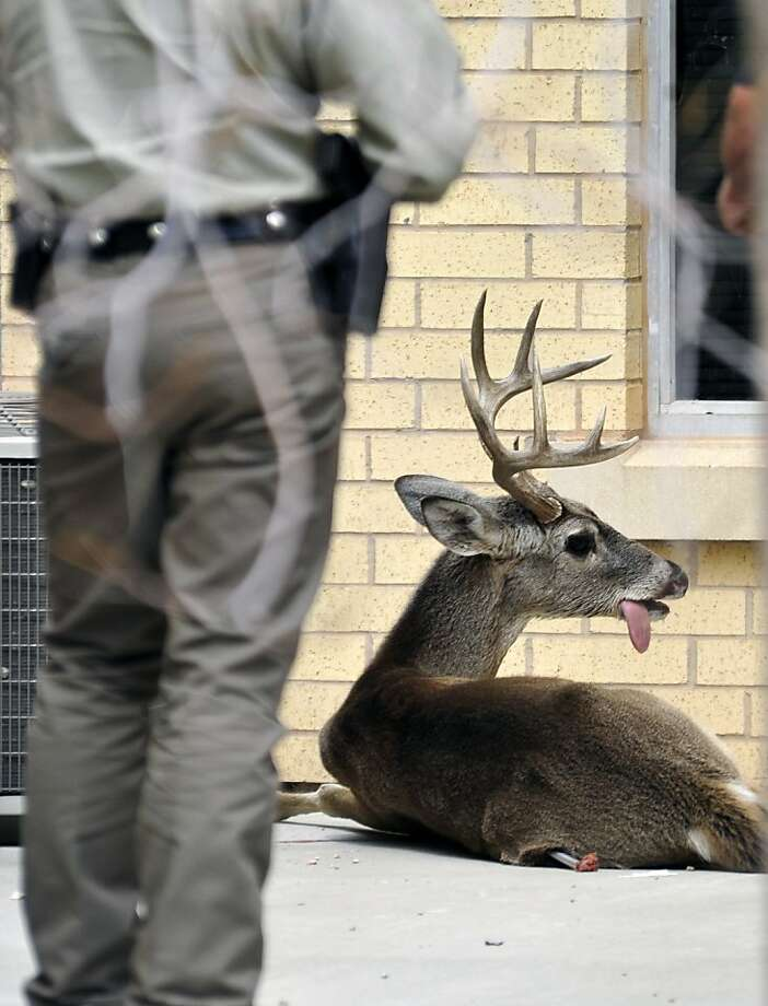 College admission denied:Game Warden Jason Huebner waits for a deer to succumb to a shot from a tranquilizer pistol after it was found wandering the Angelo State University campus in San Angelo, Texas. The buck reportedly had been banging his head against the main administration building. It was later relocated to a more deer-friendly area. Photo: Kimberley Meyer, Associated Press