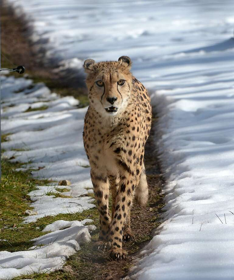 No snow tires on her wheels: When there's snow on the ground, the fastest animal on earth walks. (Erfurt, Germany.) Photo: Martin Schutt, AFP/Getty Images