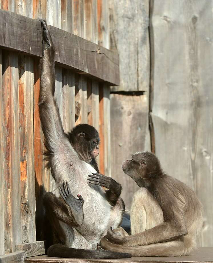 Depends - did you go to Jared?A monkey appears ready to pop the question at the zoo in Erfurt, Germany. Photo: Martin Schutt, AFP/Getty Images