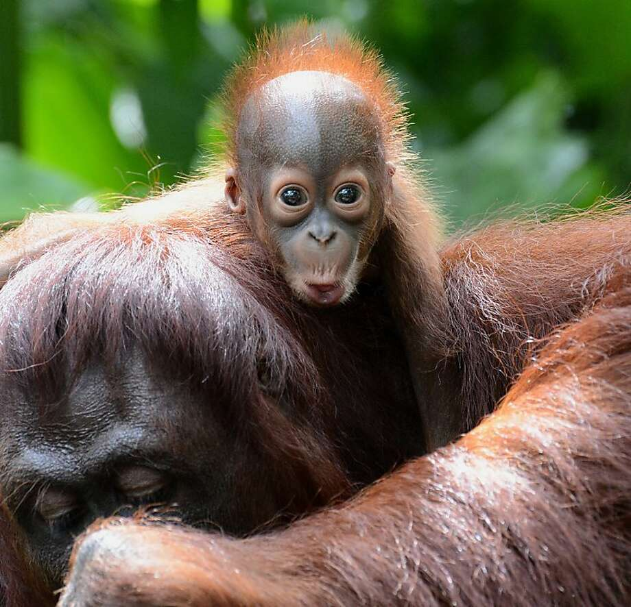 Holy moley! The new redhead at the Singapore Zoo is an as yet unnamed male, 6 weeks old and easily startled. Photo: Roslan Rahman, AFP/Getty Images