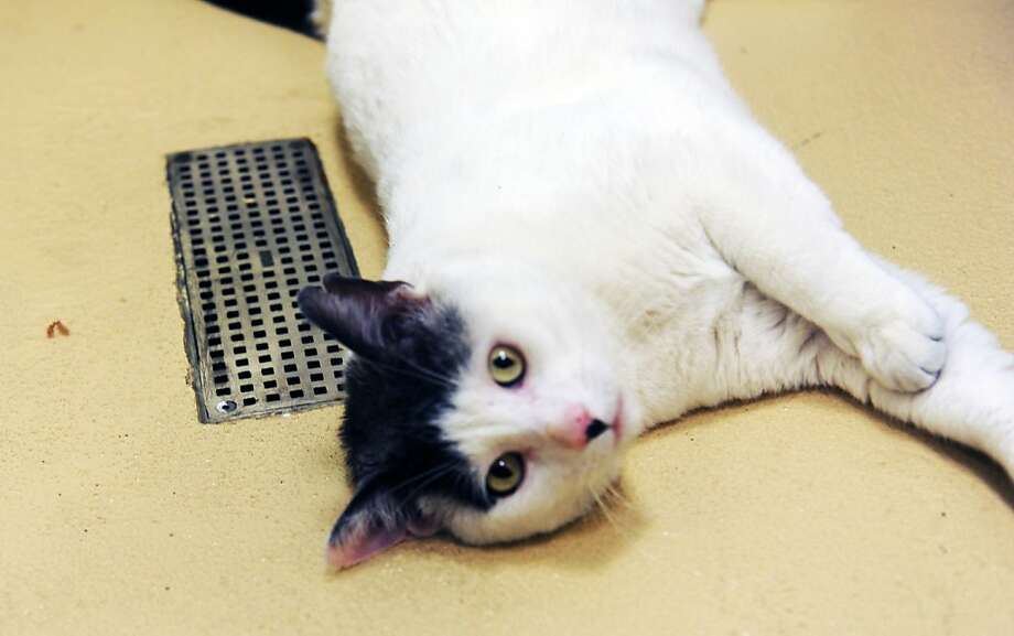 "I'm circling the drain! Adopt me before it's too late!Ajax, a domestic short-hair who's about 4 or 5, can be adopted at Greenwich Animal Control in Greenwich, Conn. Warning - he's no fan of dogs, despite having a ""dog-type personality,"" according to the shelter. Photo: Helen Neafsey, Greenwich Time"