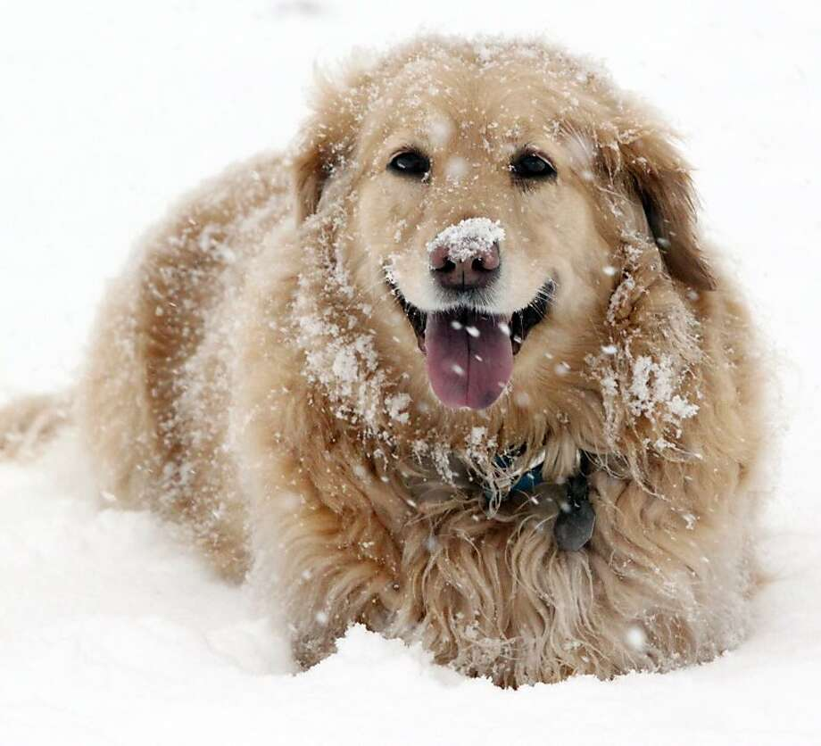 For some Hoosiers, winter storms aren't so bad: In fact, Carlie the golden retriever couldn't be happier with the big dump in Michigan City, Ind. Photo: Bob Wellinski, Associated Press