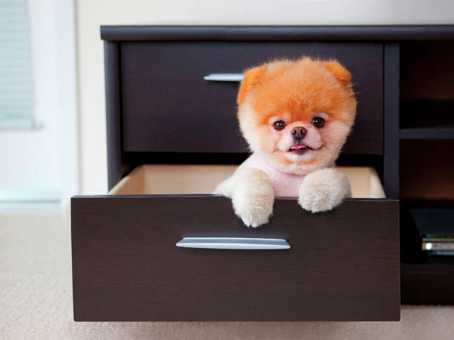 In this photo, Boo plays peekaboo in a drawer. Photo: Photo By Gretchen LeMaistre, Cou