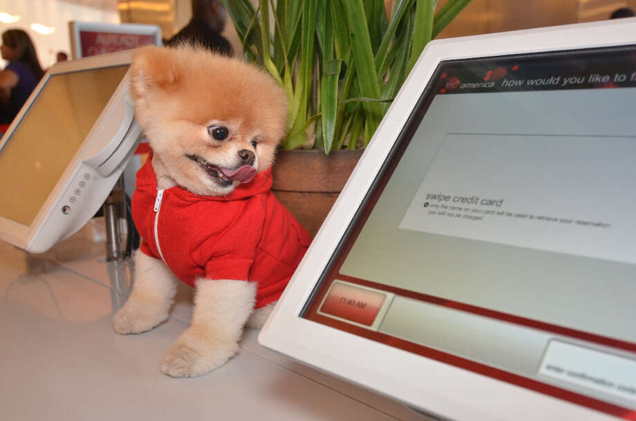 Boo, the World's Cutest Dog is Virgin America's official pet liaison, promoting the airlines' pet-friendly features. Photo: Virgin America / BENJAMIN EYE