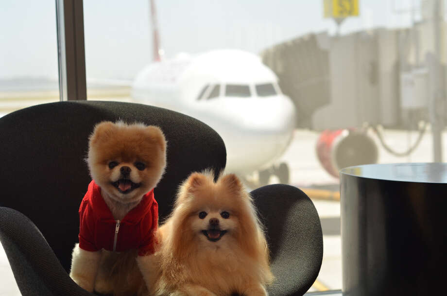 Boo, the World's Cutest Dog is Virgin America's official pet liaison, promoting the airlines' pet-friendly features. Boo will give pet-friendly travel advice to two and four-legged fliers. Photo: Virgin America / BENJAMIN EYE