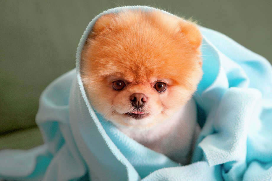 Boo, the cute Pomeranian with more than 1.4 million Facebook fans, has his own book 'Boo: The Life of the Cutest Dog' by J.H. Lee with photography by Gretchen LeMaistre. In this photo, Boo nestles into a blanket burrito. Photo: Photo By Gretchen LeMaistre, Cou