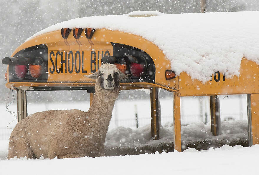 A llama seeks shelter next to an abandoned school bus at Cox Farms March 6, 2013 in Centreville, Vir