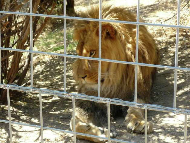 This 2012 photo provided by KFSN-TV shows a 4-year-old male African lion named Cous Cous at Cat Haven, a private wild animal park in Dunlap, Calif. Photo: KFSN-TV