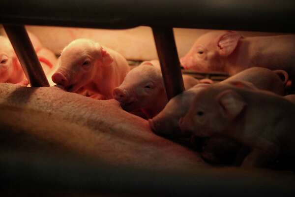 Newborn pigs eat a few hours after been born in the Houston Livestock and Rodeo Show Birthing Center. A pig gave birth to 13 pigs at Reliant Center on Wednesday, March 6, 2013, in Houston.