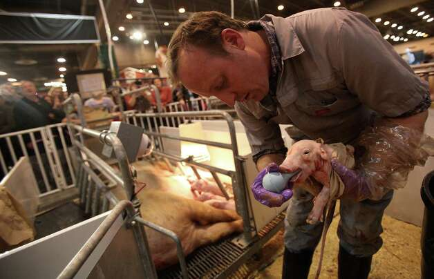 Jeff Jehn, livestock caretaker, holds a newborn pig in the Houston Livestock and Rodeo Show Birthing Center where a pig gave birth to 13 pigs at Reliant Center on Wednesday, March 6, 2013, in Houston. Photo: Mayra Beltran, Houston Chronicle / © 2013 Houston Chronicle