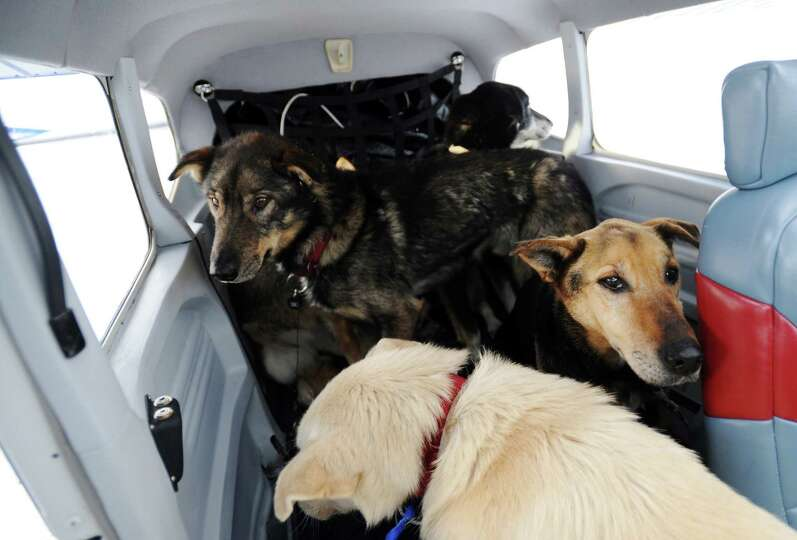 Dropped dogs are loaded into an Iditarod Air Force plane to be flown to McGrath during the Iditarod
