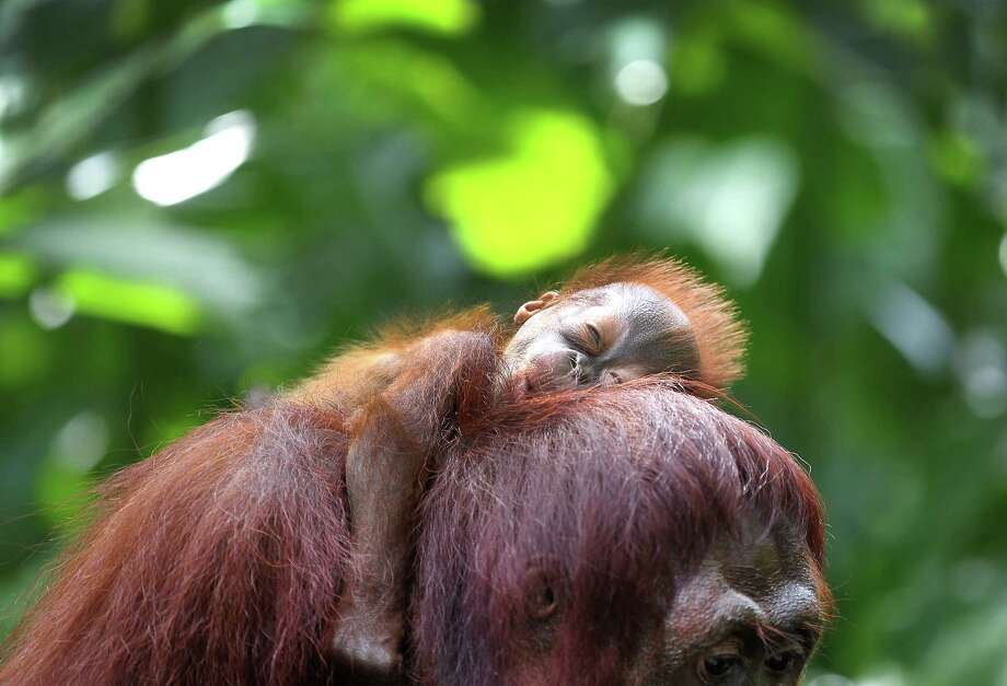 Bornean orangutan Photo: Wong Maye-E, Associated Press / AP