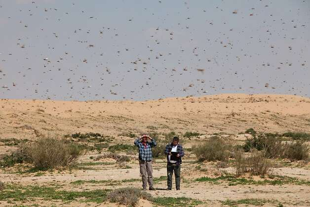 KMEHIN, ISRAEL - MARCH 06:  Israelis look at a swarm of locusts arriving over the Negev desert near the Egyptian border on March 6, 2013 in Kmehin, Israel. Egypt and Israel have been swarmed with millions of locusts over the past few days causing wide spread disturbances.  (Photo by Uriel Sinai/Getty Images)  *** BESTPIX *** Photo: Uriel Sinai, Getty Images