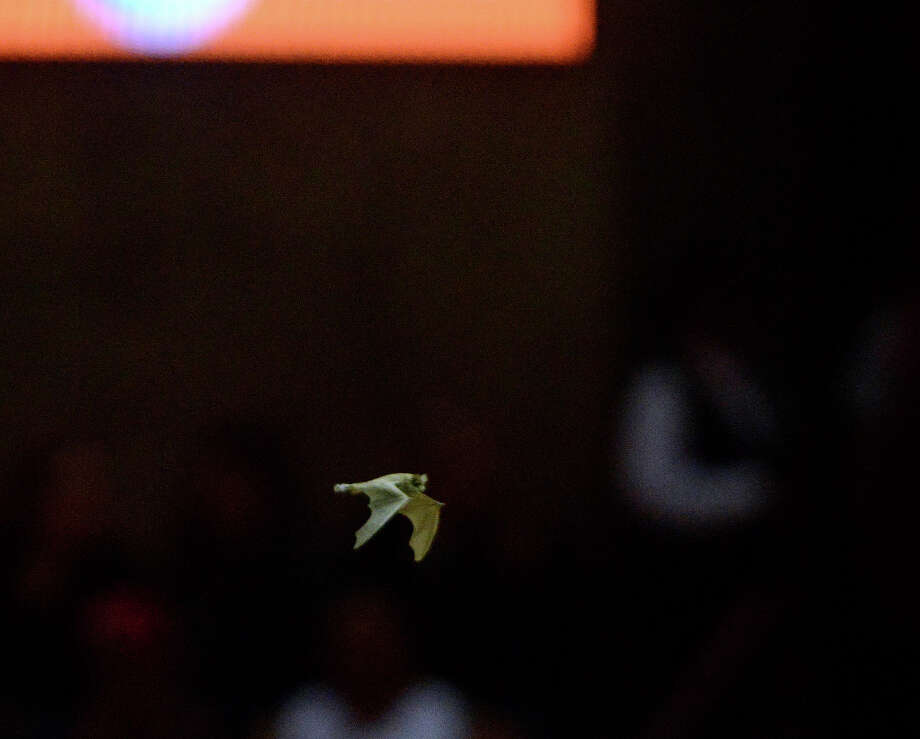 A bat flies through the AT&T Center during the Chicago Bulls at San Antonio Spurs game on Wednesday, March 6, 2013. Photo: Billy Calzada, San Antonio Express-News / San Antonio Express-News