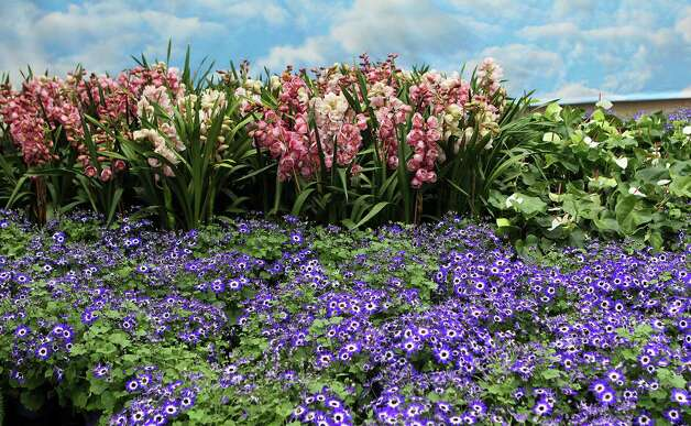 "A sea of purple Cineraria meet Cymbidium Orchids (left, know as the corsage orchid) and Anthurim in the Rene Magritte themed Orchid Atrium as part of the Atlanta Botanical Garden's ""Orchid Daze: Surreal Beauty,"" show of fanciful flowers and playful objects, February 8, 2013.  (Phil Skinner/Atlanta Journal-Constitution/MCT) Photo: Phil Skinner, McClatchy-Tribune News Service / Atlanta Journal-Constitution"