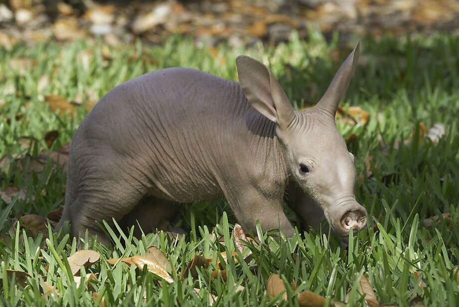 It's a … we're not sure: Busch Gardens Tampa has a new baby aardvark, a month old and gender still unknown. Hopefully, he or she will grow into those ears. Photo: Adam Lewis, Associated Press