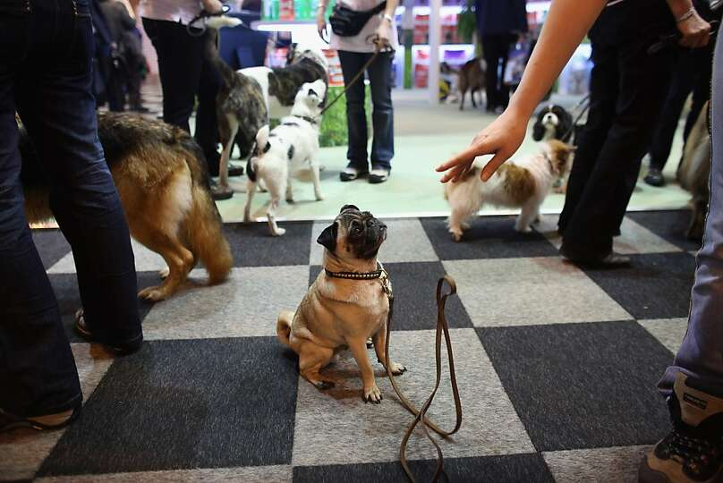 A pug is told to remain seated on the first day of Crufts dog show at the NEC on March 7, 2013 in Bi