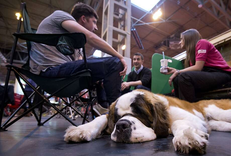 "A Saint Bernard dog rests during the first day of the Crufts dog show in Birmingham, in central England on March 7, 2013. The annual event sees dog breeders from around the world compete in a number of competitions with one dog going on to win the ""Best in Show"" category. Photo: Ben Stansall, AFP/Getty Images"