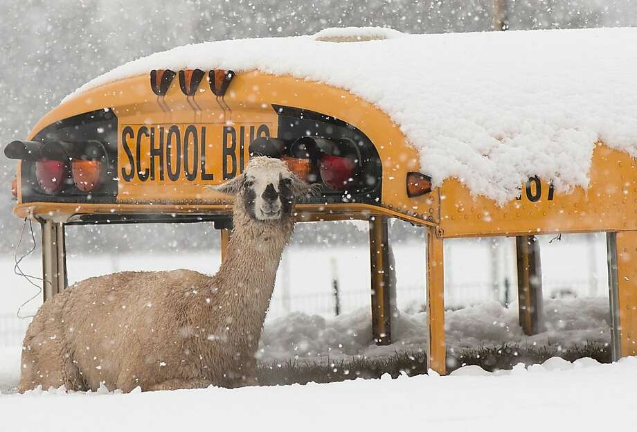 Alpaca lunch for school:Technically, it's a llama, and the bus hasn't carried kids to Centreville, Va., schools since the Clinton administration. Photo: Win McNamee, Getty Images
