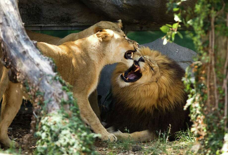 Jonathan, the Houston Zoo's male African lion, rarely gets excited, but the zip line often does the trick. Photo: Brett Coomer, Houston Chronicle / © 2011 Houston Chronicle