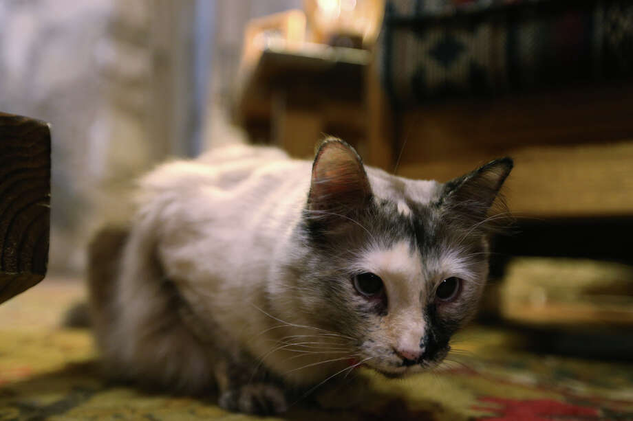 Lily, an18-month-old cat, hangs out in the living room of the priest residence at Mission San Juan Capistrano, Tuesday, March 5, 2013. Father Jim Gavin has kept several cats at the mission and they are known to keep the grounds free of rodents and snakes. Photo: Jerry Lara, San Antonio Express-News / © 2013 San Antonio Express-News