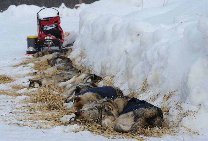 Iditarod sled dogs from Mike Ellis rest at the McGrath checkpoint on Wednesday, Mar. 6, 2013. (AP Ph