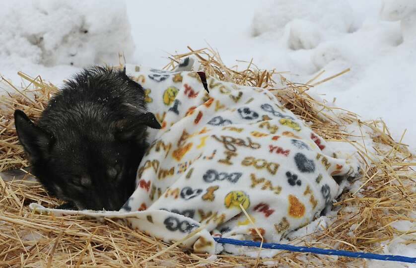 An Iditarod sled dog sleeps under a blanket at the McGrath checkpoint on Wednesday, March 6, 2013. (