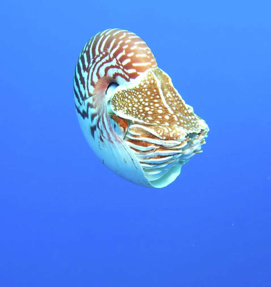 A Samoan nautilus about 2 miles offshore is seen in this photo from February 2013. At this location, the water was about 1,200 feet deep and the nautilus was at a depth of about 75 feet.