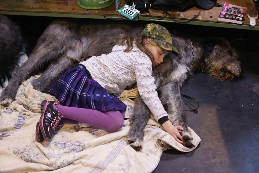 Caitlin, aged 9, sleeps on her Irish wolfhound on the first day of Crufts dog show at the NEC on Mar