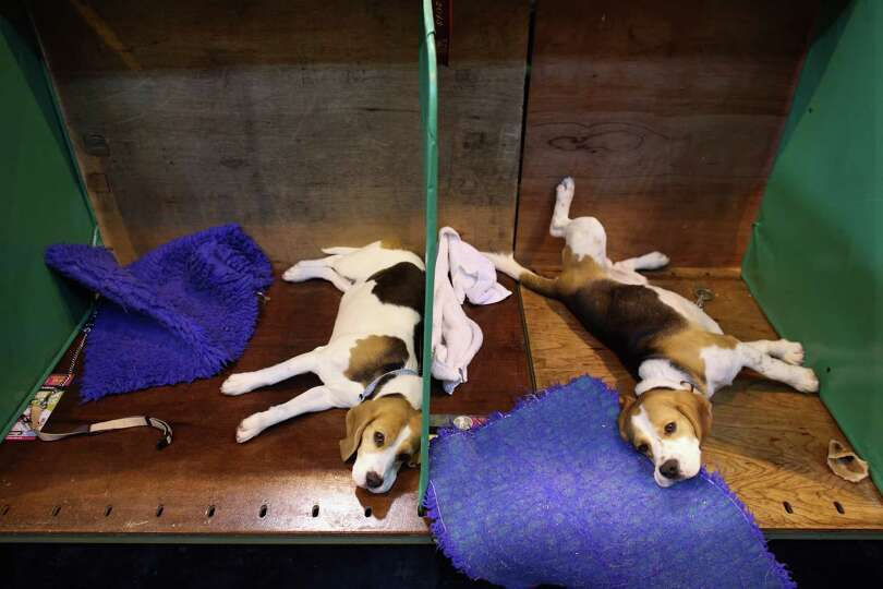 Dogs relax after being shown on the first day of Crufts dog show at the NEC on March 7, 2013 in Birm