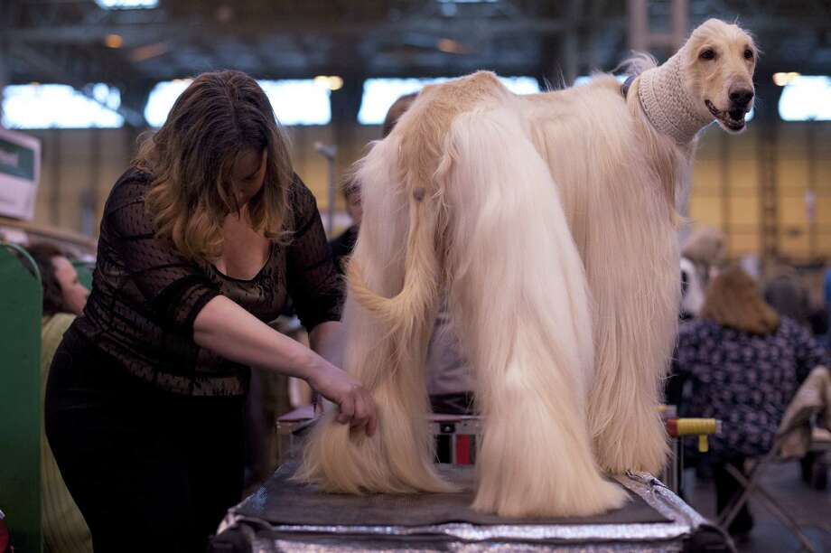 An Afghan Hound is groomed during the first day of the Crufts dog show in Birmingham, in central England on March 7, 2013. Photo: BEN STANSALL, AFP/Getty Images / AFP