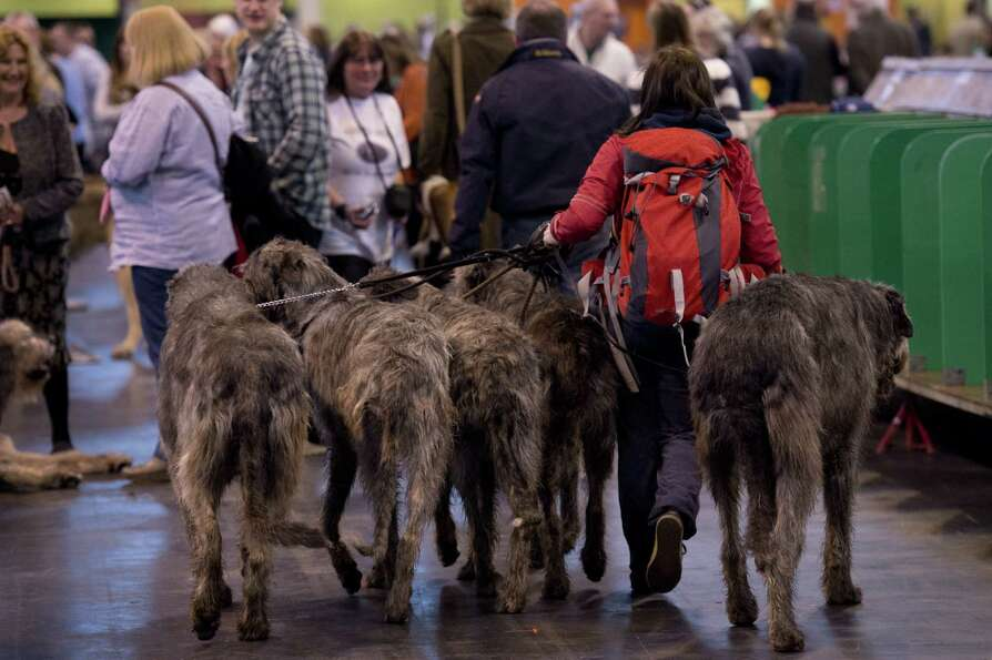 A woman walks with five Irish Wolf Hounds during the first day of the Crufts dog show in Birmingham,