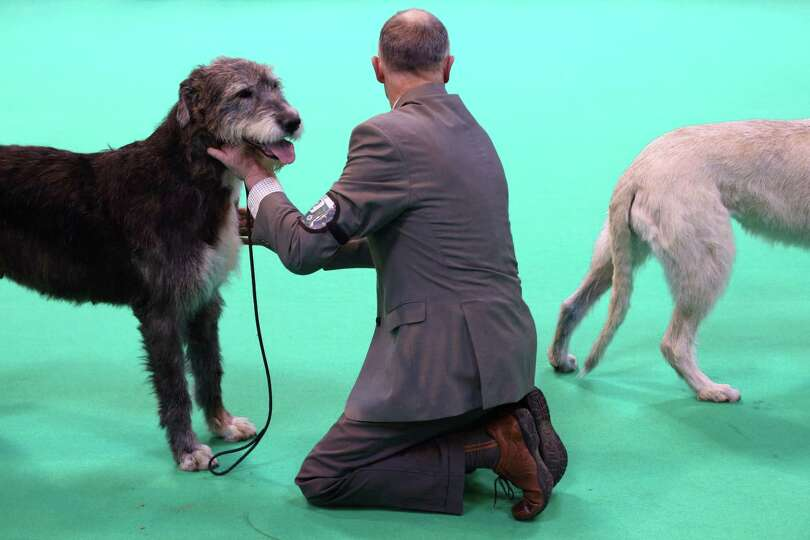 Irish wolfhound dogs are shown on the first day of Crufts dog show at the NEC on March 7, 2013 in Bi