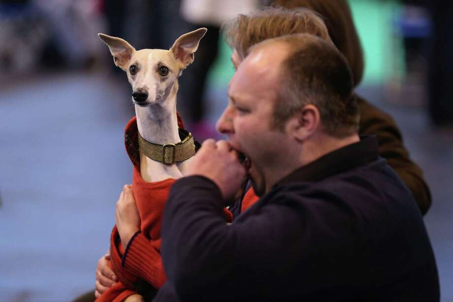 Owners watch dogs being shown on the first day of Crufts dog show at the NEC on March 7, 2013 in Birmingham, England. Photo: Oli Scarff, Getty Images / 2013 Getty Images