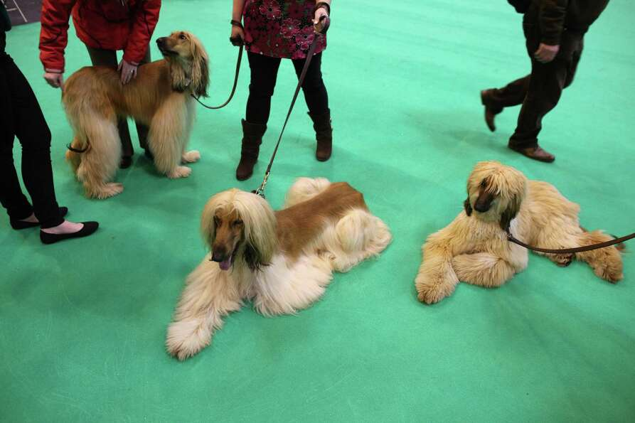 Afghan hounds relax after being shown on the first day of Crufts dog show at the NEC on March 7, 201