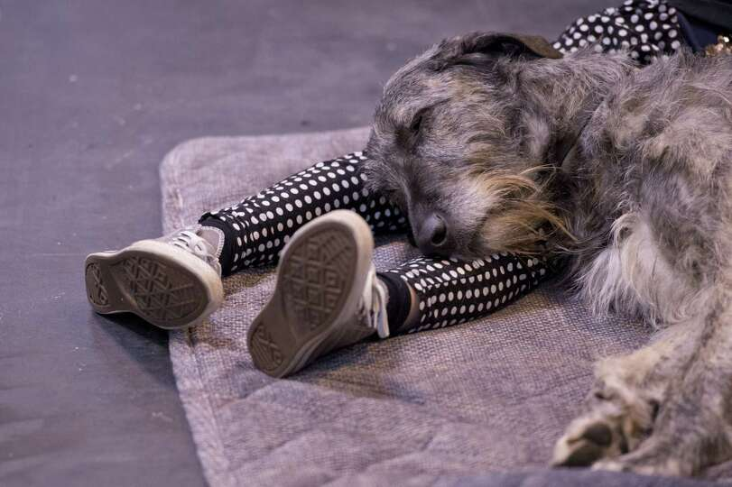 A Irish Wolf Hound dog rests on the legs of it owner during the first day of the Crufts dog show in