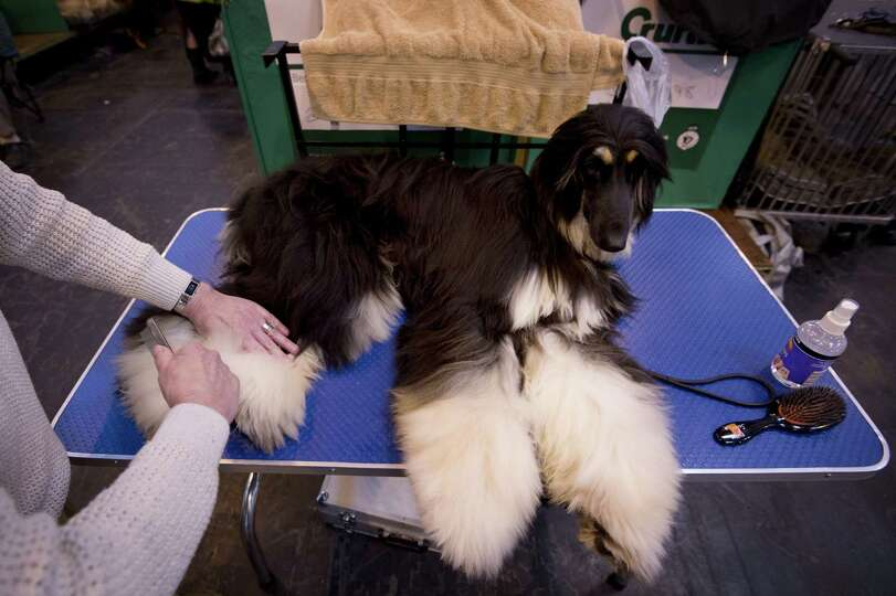 An Afghan Hound is groomed during the first day of the Crufts dog show in Birmingham, in central Eng