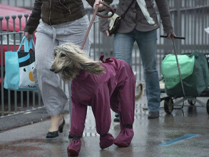 An owner arrives with her Afghan Hound wearing a waterproof suit on the first day of the Crufts dog