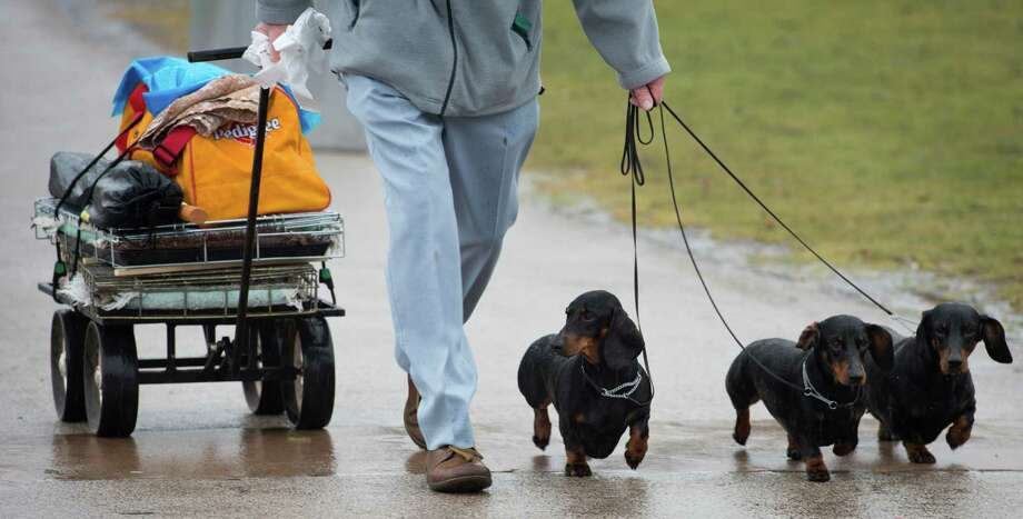 An owner arrives with his short haired Dachshund's on the first day of the Crufts dog show in Birmingham, in central England on March 7, 2013. Photo: BEN STANSALL, AFP/Getty Images / AFP