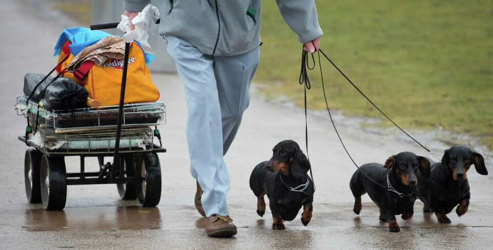 An owner arrives with his short haired Dachshund's on the first day of the Crufts dog show in Birmin